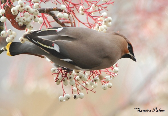 Waxwing by finepetportraits