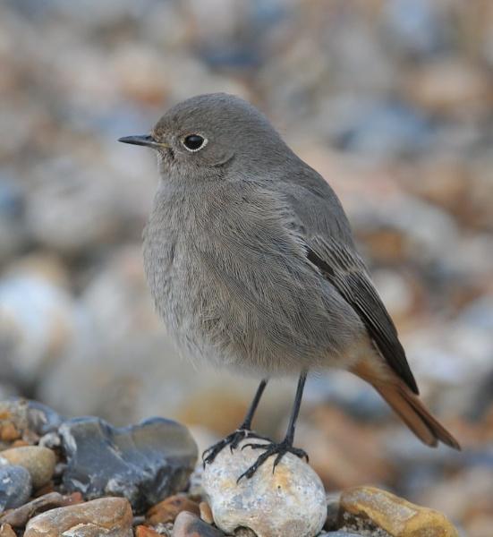 Black Redstart on The Beach by GeminiNeil