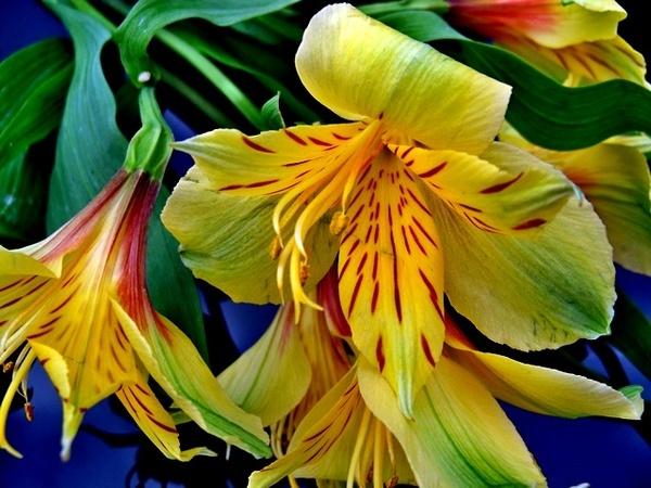 Yellow Alstroemeria by Peagreen