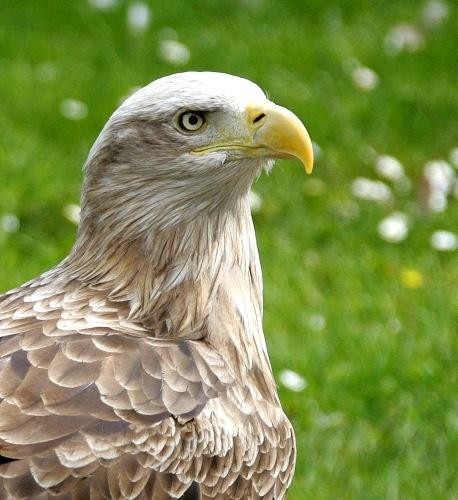 eagle close up by yaco