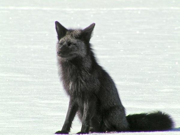 A Silver Fox enjoying the winter sun by StuartDavie