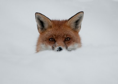 Fox in the snow by Sweetmart