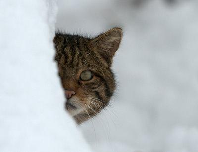 Peeping Wildcat by Sweetmart