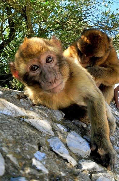 monkey Business by paulraymondphotography