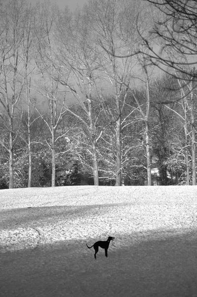 Greyhound Greyscale by Gillspam