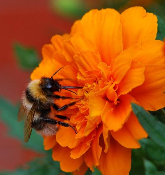 Bee on a Marigold by Bondgirl