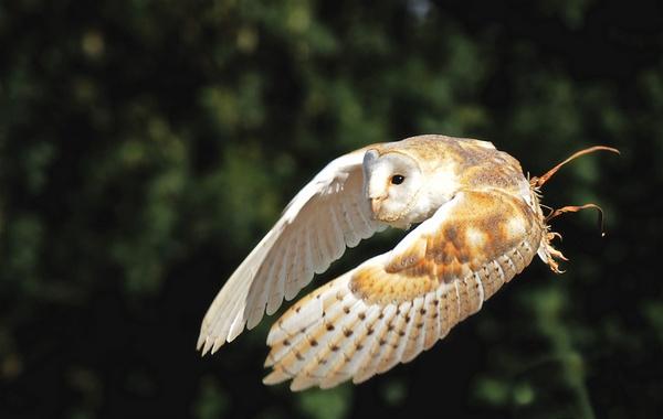 Barn Owl by DanZed69