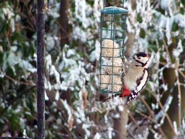 Hungry Woodpecker by harky2402