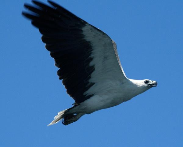 eagle by Robyn2012