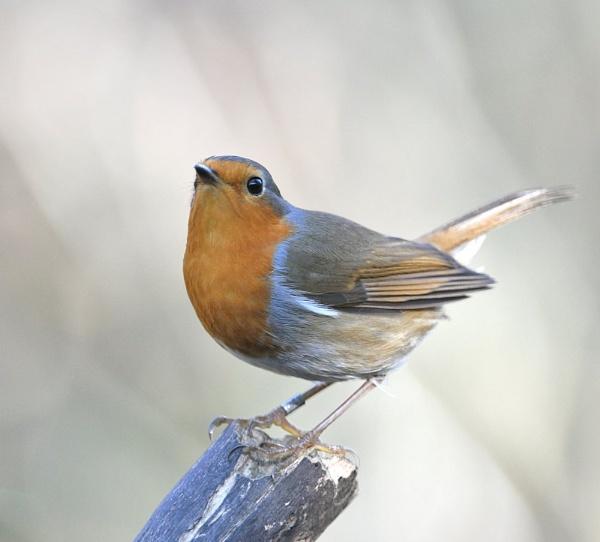 A nEw Year Robin by GeminiNeil