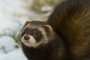 Polecat by true