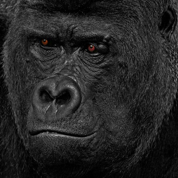 lowland gorilla by philbland