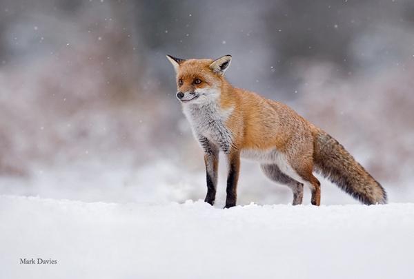 Fox by Enmark