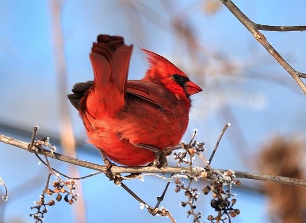 Cardinal by Oakenshield