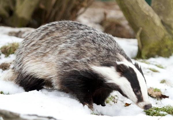 Badger by Tom10