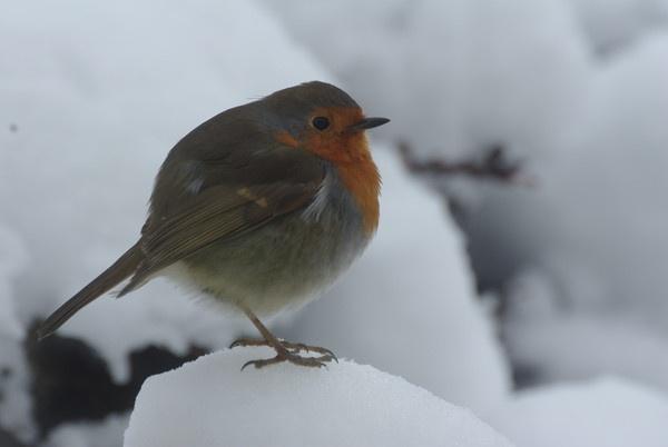 brrrrrr robin by panther