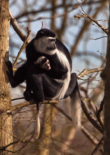 Colobus Monkey by icphoto