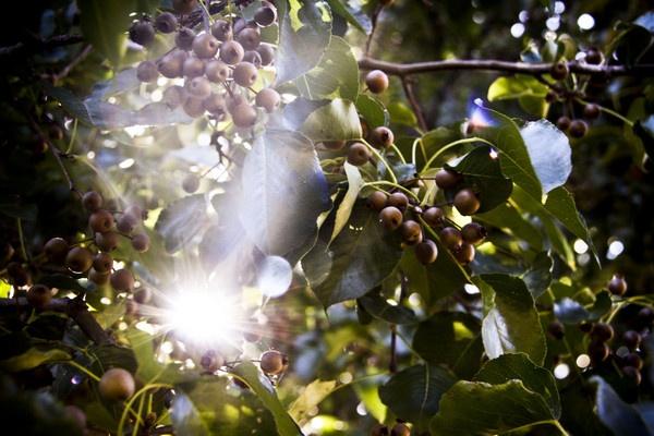 Ornamental Pears by sthrn_gal