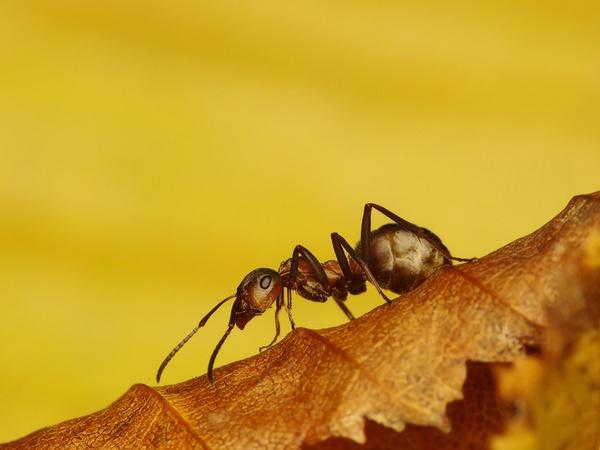 Ant by Benas