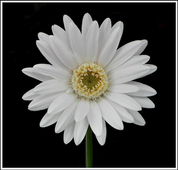 White Gerbera. by rpba18205