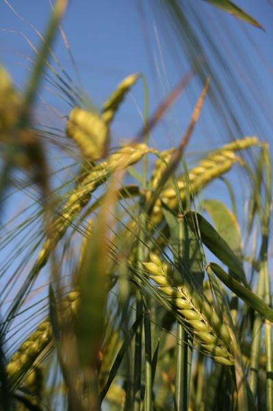 Blue & Wheat by LUBA123