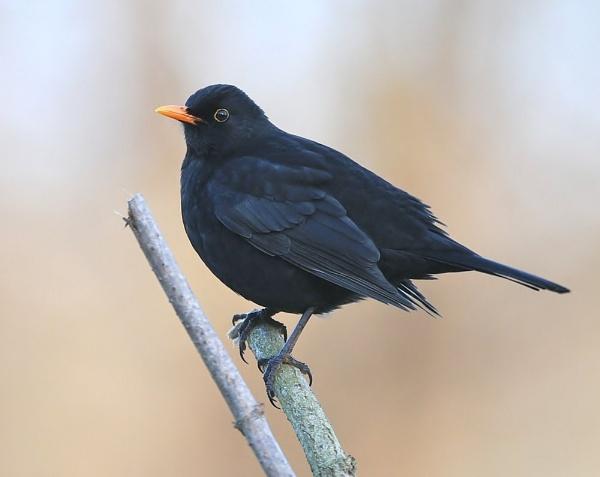 Only a Black Blackbird? by GeminiNeil