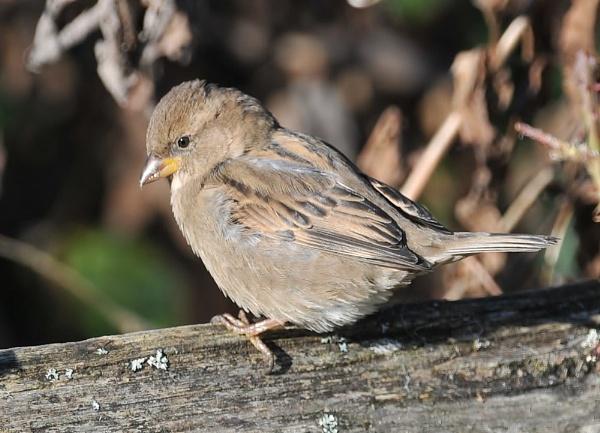 Sparrow by GeminiNeil