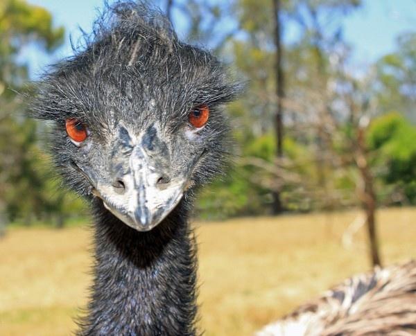 Curious Emu by Wadooz