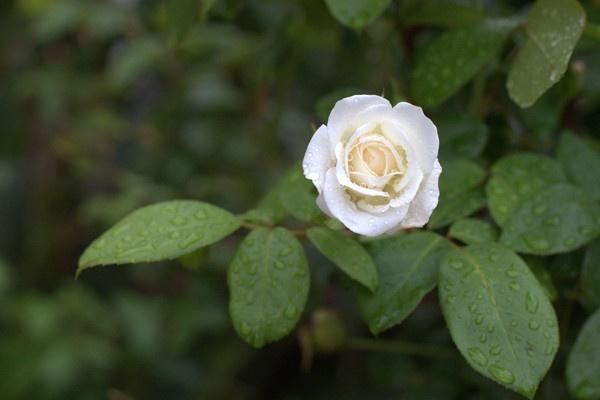 Rainy rose by Nici