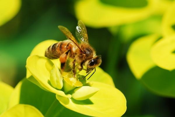Honey Bee by sallybea