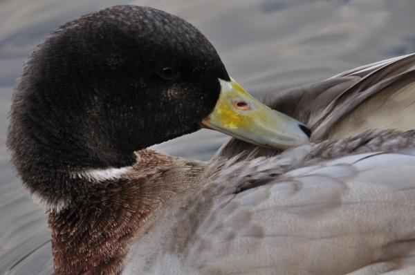 Female Mallard Duck by breadicus