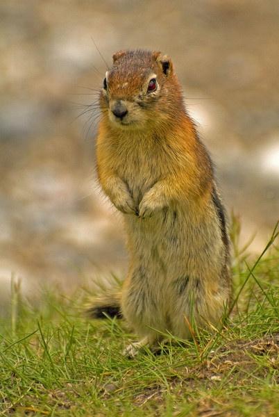 Ground Squirrel by JohnJenkins99