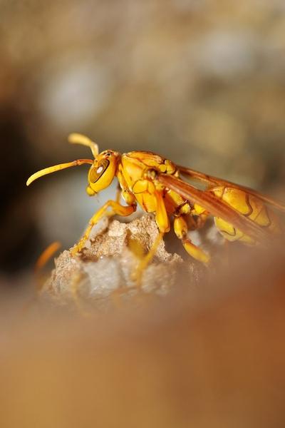 Mauritian Wasp by jjfabien