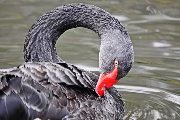 black  swan by tattsdurham