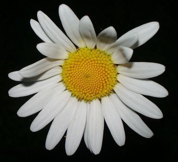 daisy by 77