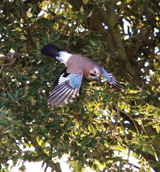 jay in flight by hotwings