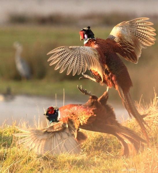 pheasants fighting(powderham castle) by hotwings