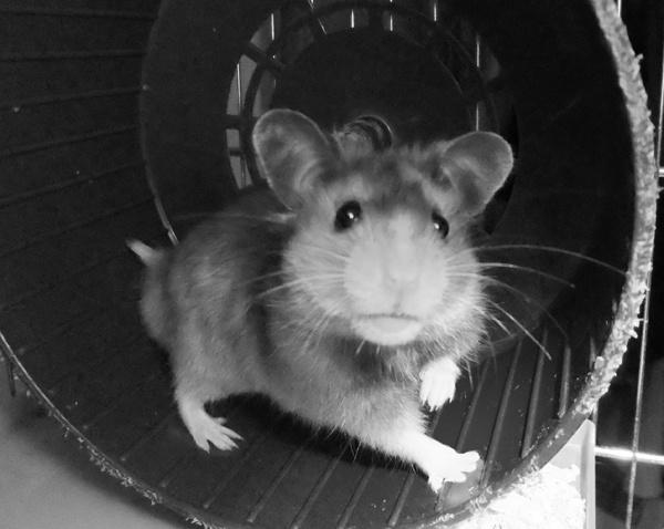 Humphrey by BettyBou