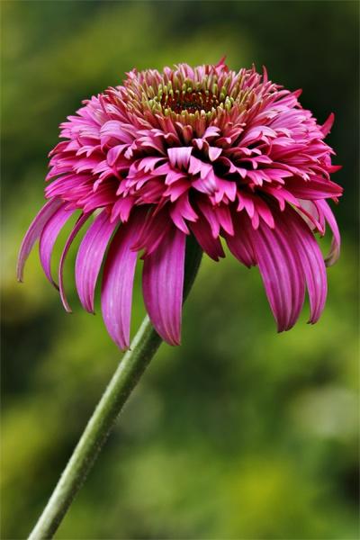 Echinacea \'Razzamataz\' by maggiem