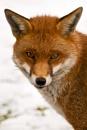 Foxy by Sezz