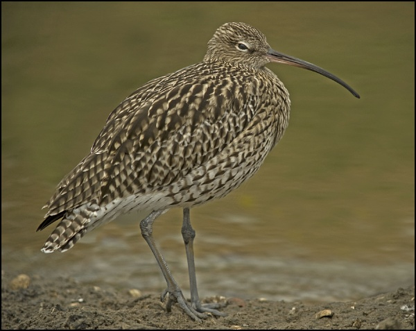 Curlew by peter_oak