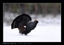 Capercaillie by csurry