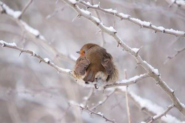 robins bum by sheepdogshady