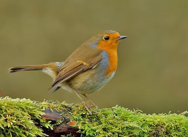 Robin by dweezil