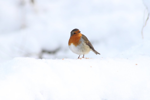 December Robin by mio2mio