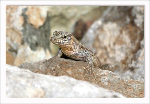 Canarian Lizard by Sloman
