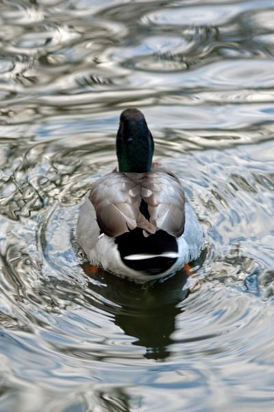 Duck by billcoa