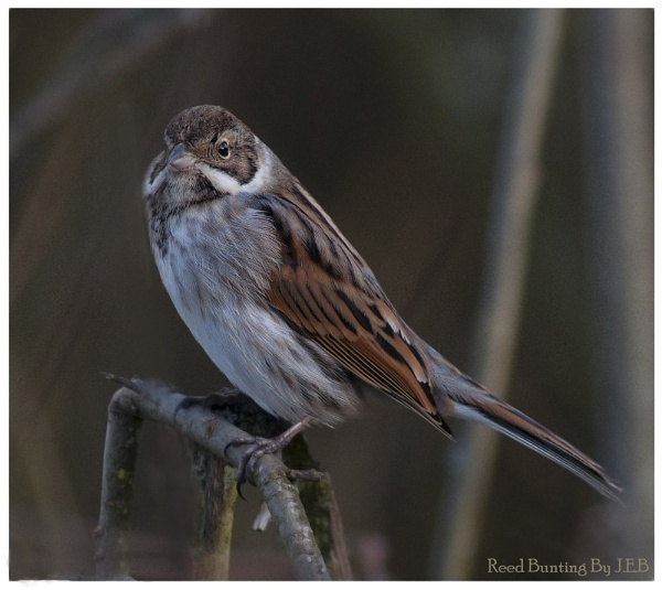 REED BUNTING by jeb2012