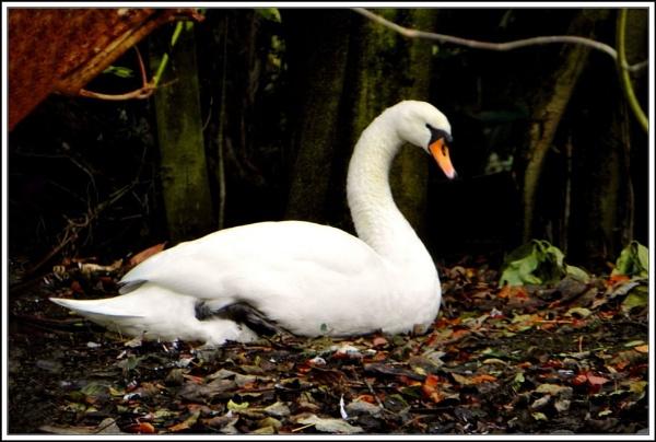 Swans Black & White. by rpba18205