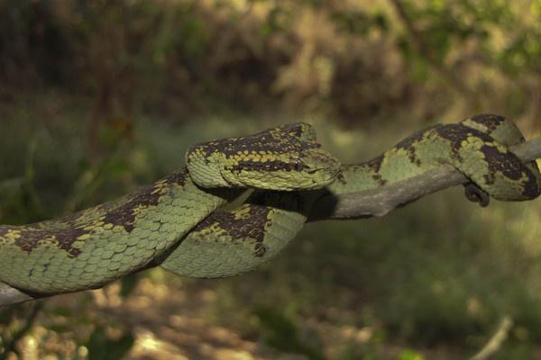Malabar Pit Viper by Chaitanya